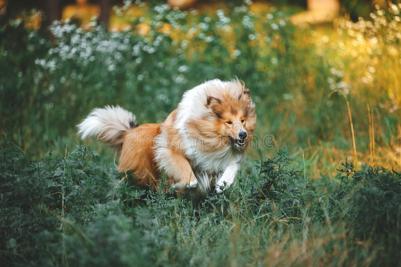 Fluffy collie breed dog runs gallop. In the blooming grass. Red big dog at liberty stock photography
