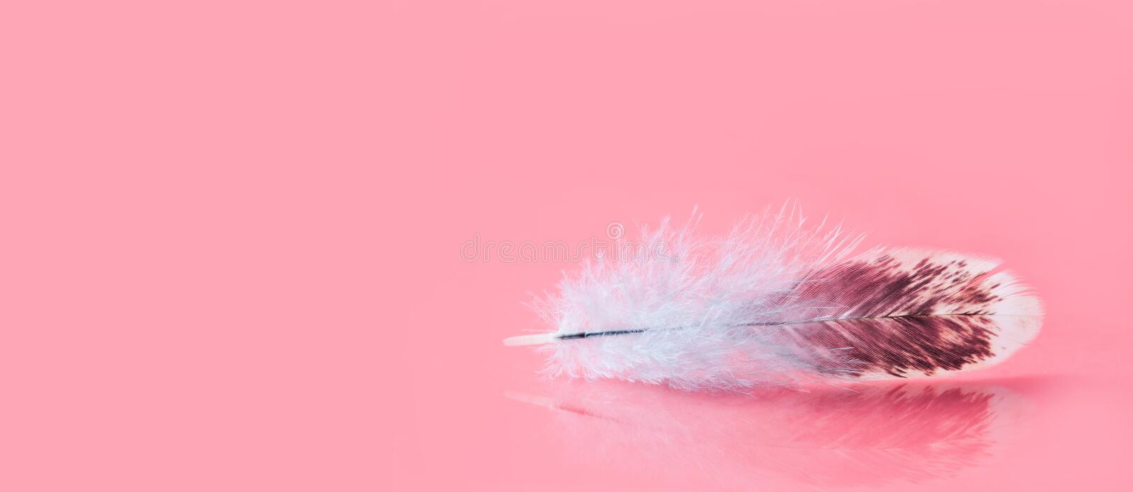 Fluffy colorful feather on pink background. Beautiful fluffy bird plumage pattern. Shallow depth of field selective. Focus. Copy space royalty free stock image