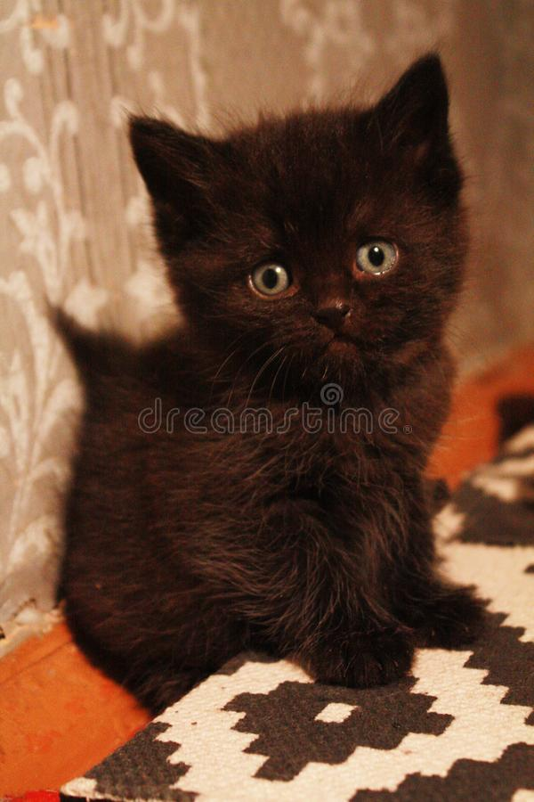 Fluffy curious handsome. A little black fluffy kitten sits on the floor and looks at you cutely royalty free stock photos