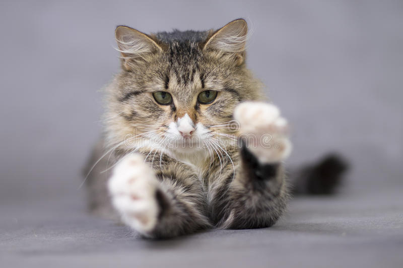 Fluffy cute cat catches something or someone paws royalty free stock images