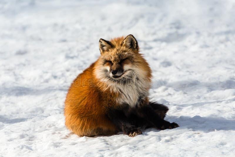 Fluffy cute red fox portrait in winter , zao , miyagi , Tohoku Area,  Japan. stock photography