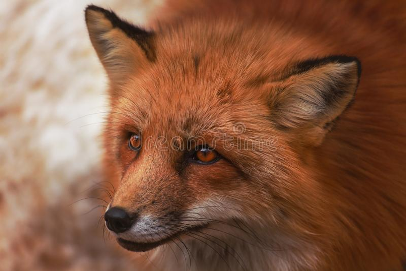 Fluffy cute red fox portrait in winter , zao , miyagi , Tohoku Area,  Japan. royalty free stock images