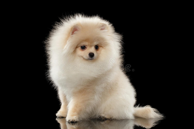 Fluffy Cute White Pomeranian Spitz Dog Sitting isolated on Black. Fluffy Cute White Pomeranian Spitz Dog Sitting on Mirror isolated on Black Background in Front royalty free stock images