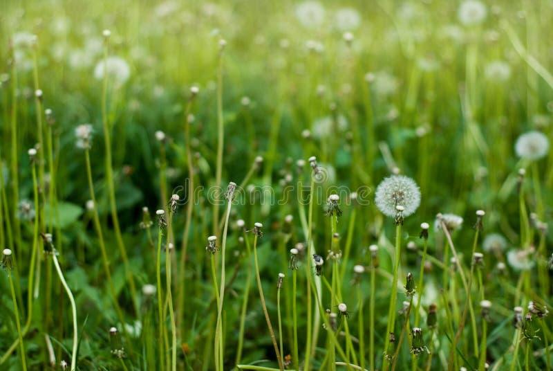 Fluffy Dandelion in Bloom. Spring Dandelion Flowers Green Grass Nature background. royalty free stock image