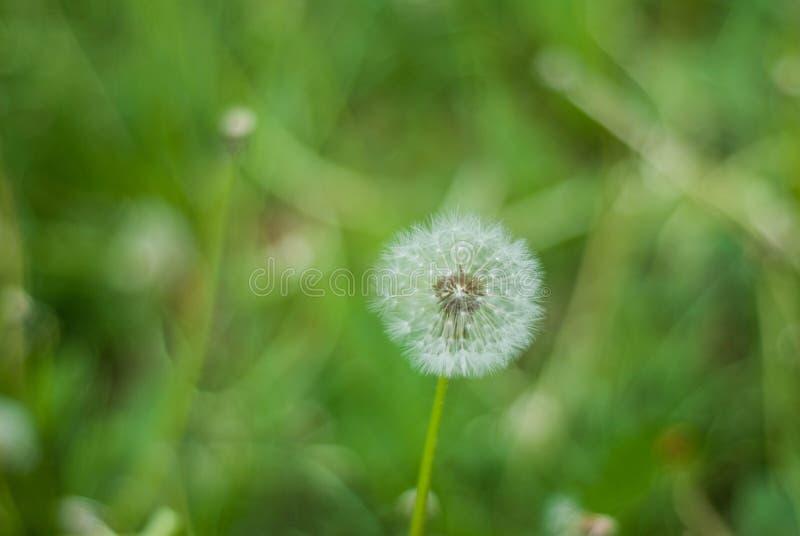 Fluffy Dandelion in Bloom. Spring Dandelion Flowers Green Grass Nature background. stock photos