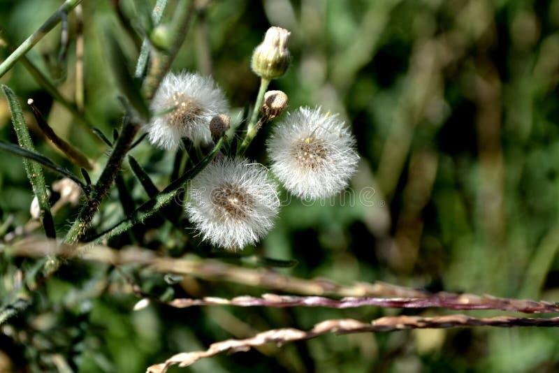Fluffy dandelion clocks stock photos
