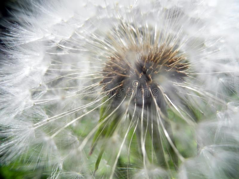 Fluffy dandelion under sunlight against a backdrop of green grass royalty free stock photos