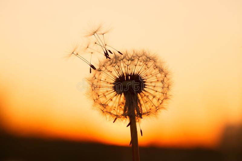 Fluffy dandelion flower at sunset meadow royalty free stock photo
