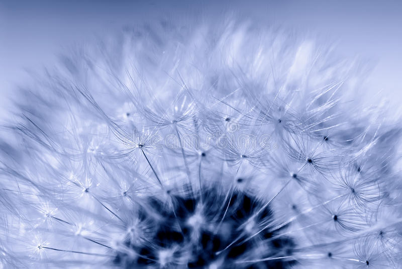 Fluffy dandelion flower head, macro. High quality macro photo of a dandelion flower (half of a dandelion head, close up view), fluffy flower hairs, light blue royalty free stock image