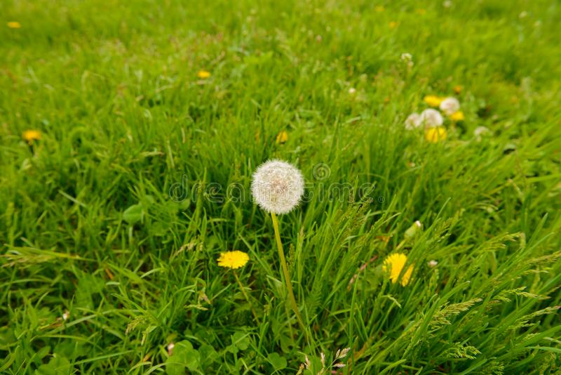 Fluffy dandelion on a green lawn. On a summer day royalty free stock photo