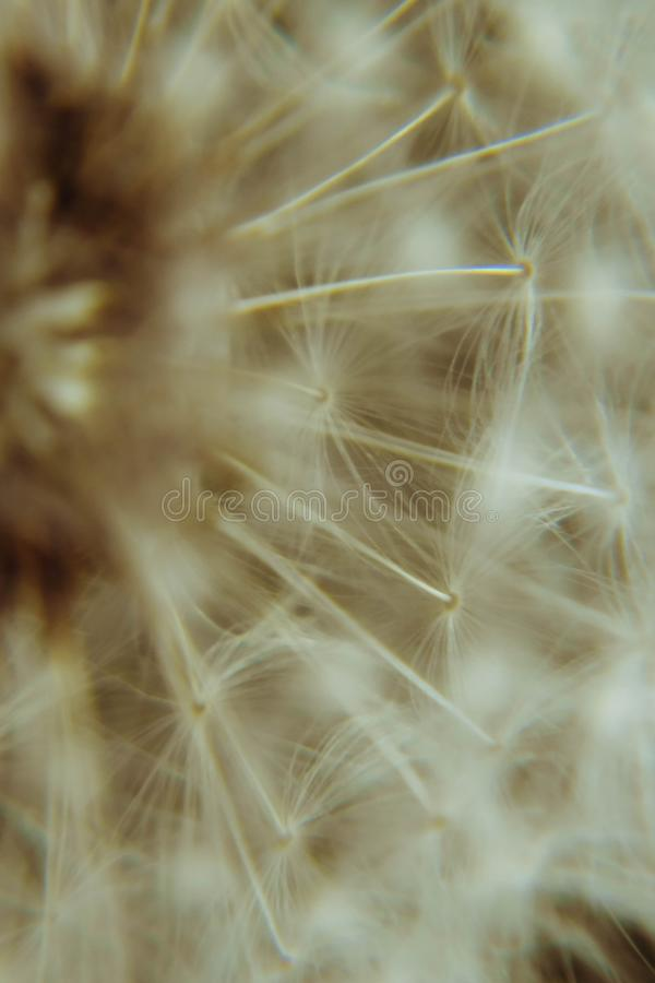 Fluffy dandelion seed texture in brown tones. Natural plant background. Macro flower head. stock photo