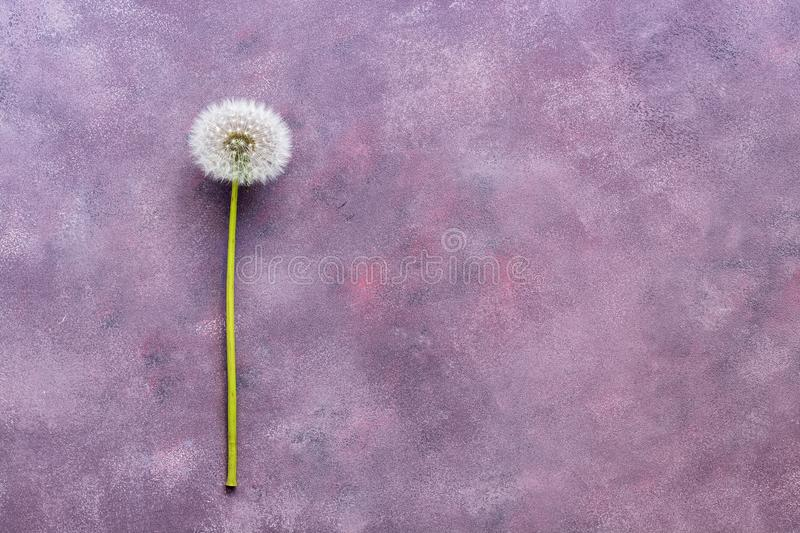 Fluffy dandelion with seeds on a beautiful abstract background, copy space, top view. Abstract pink-purple background. royalty free stock photography