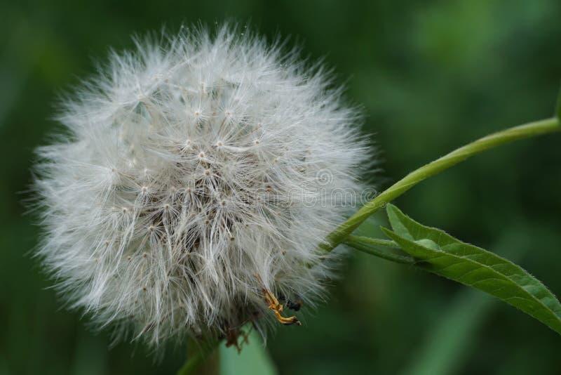 Fluffy dandelion Taraxacum. Macro white fluffy inflorescences caucasian dandelion Taraxacum among green leaves stock photo