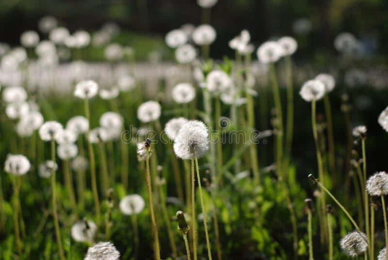 Fluffy Dandelions Flower Against Blured Green Garden Background Summer landscape. stock image