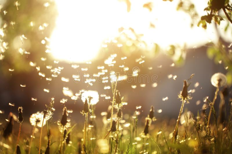 Fluffy dandelions glow in the rays of sunlight at sunset in nature field. Beautiful dandelion flowers in spring meadow stock images