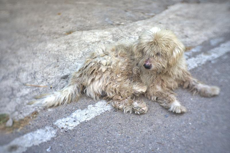 The fluffy dog is lying and not showering. Fluffy, dog, lying, not, showering royalty free stock images