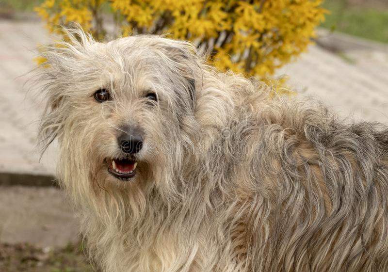 Fluffy dog smiling royalty free stock photo