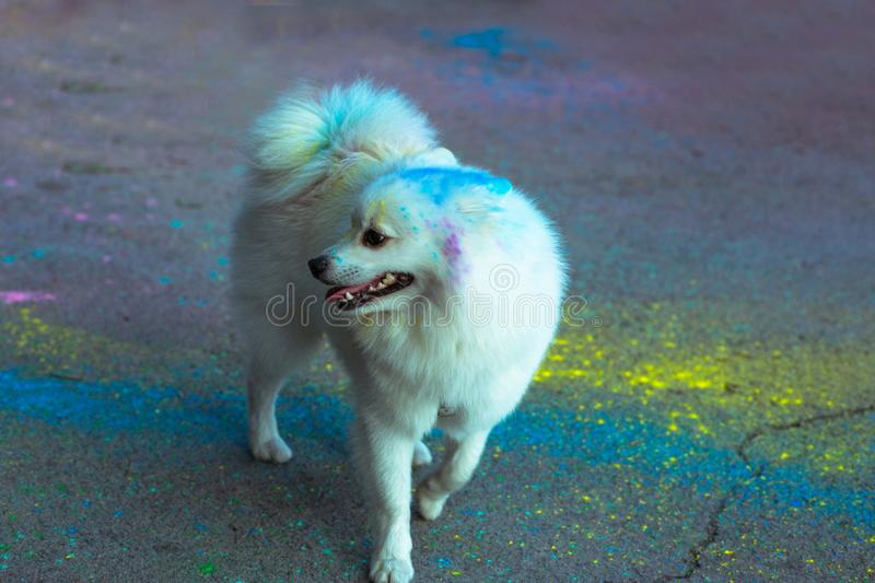 Fluffy domestic dog covered with Holi paint. Fluffy domestic little dog covered with Holi paint at the park royalty free stock images