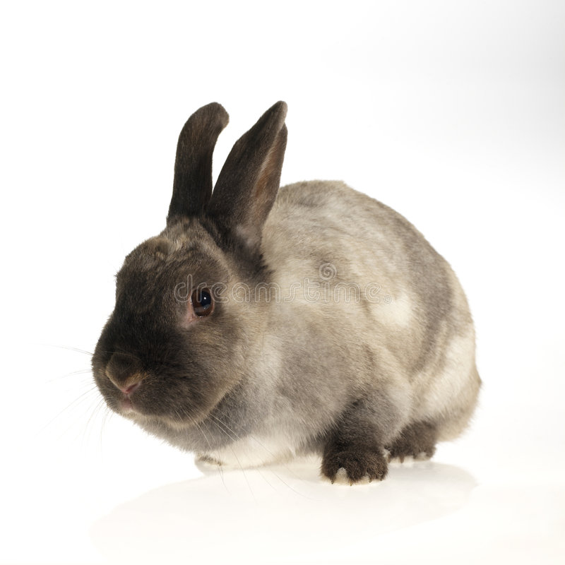 Fluffy domestic rabbit. Small domestic rabbit, looking at the camera (white background stock photography