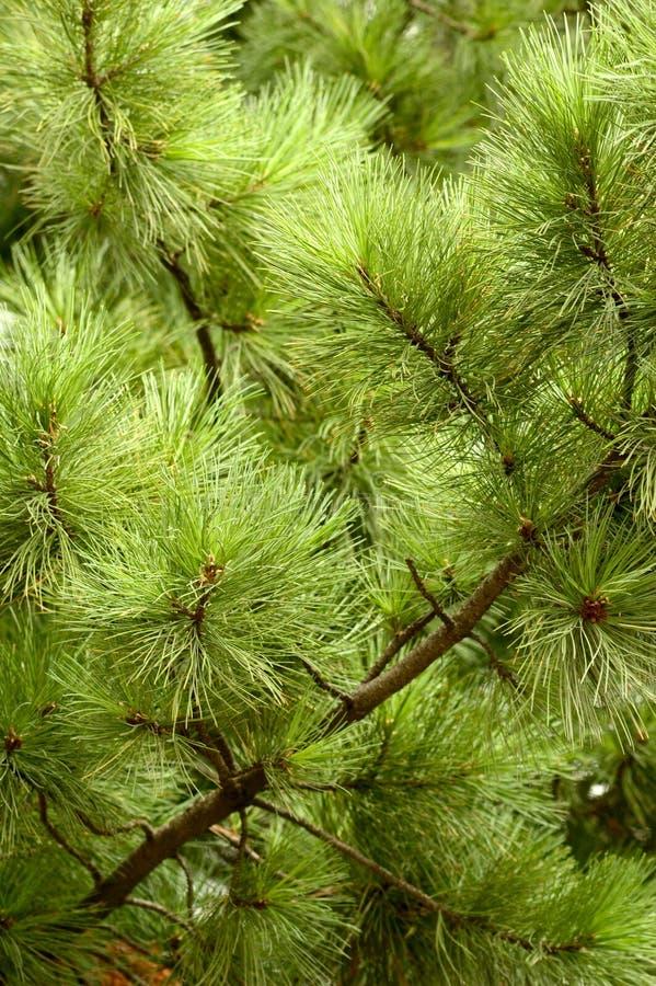 fluffy drzewo fotografia royalty free