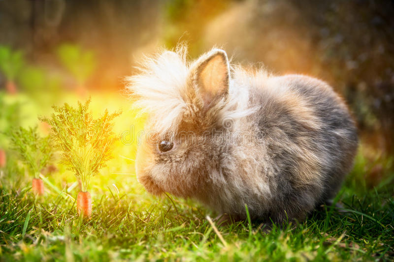 Fluffy Easter bunny on sunny meadow with carrots in garden royalty free stock photography