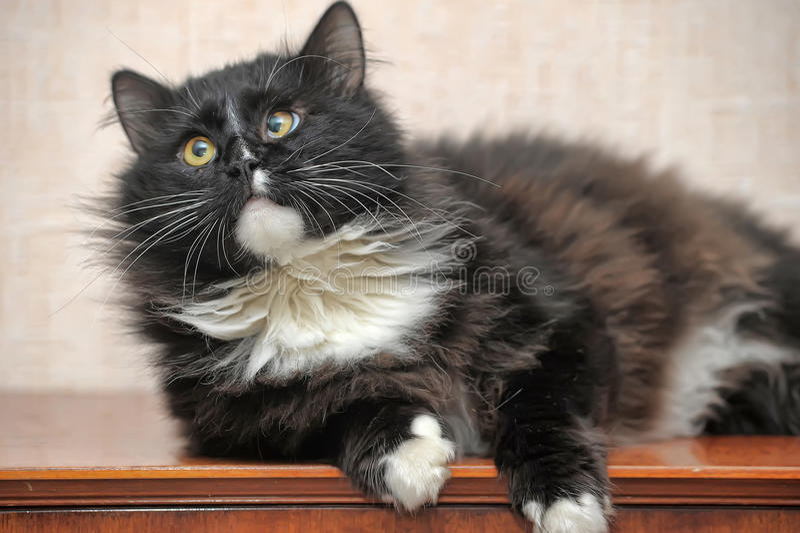 Fluffy eyed cat stock photos