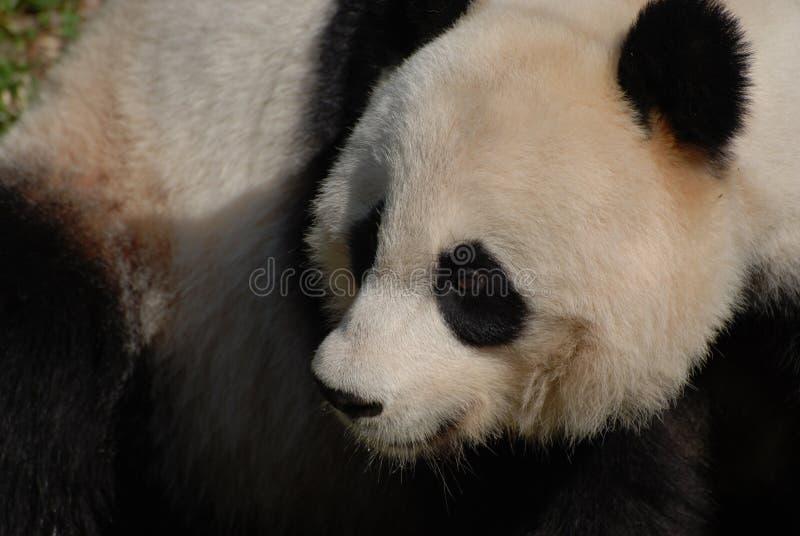 Fluffy Face of a Giant Panda Bear. Amazing fluffy face of a black white Chinese panda bear royalty free stock photos