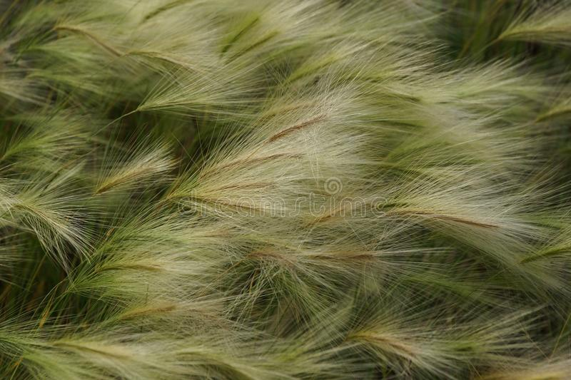 Fluffy feather grass waving from the wind in the field texture b royalty free stock photos
