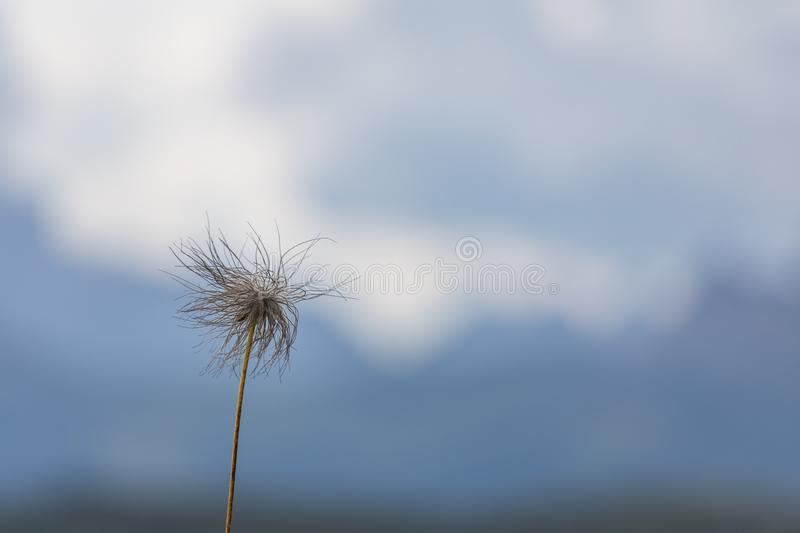 Fluffy flower on a background of blue sky.  royalty free stock image