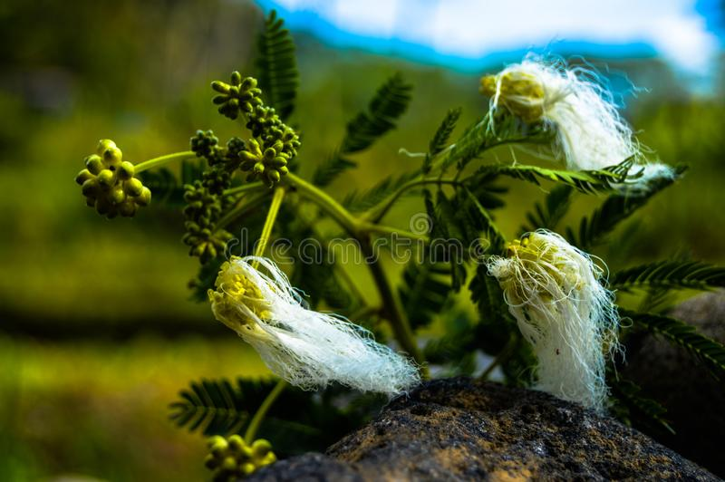 Fluffy flower on a prickly plant in nature . stock photography