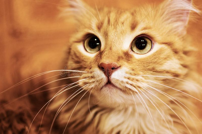 Fluffy ginger cat close-up. royalty free stock photo