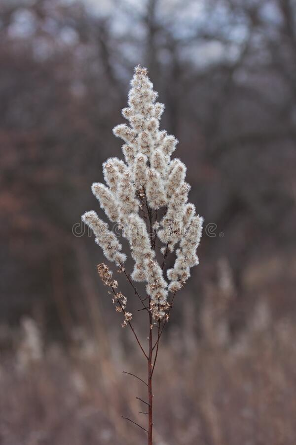 Fluffy Goldenrod  Alone in a Prairie. A goldenrod that has gone to seed stands alone in an autumn prairie royalty free stock photography