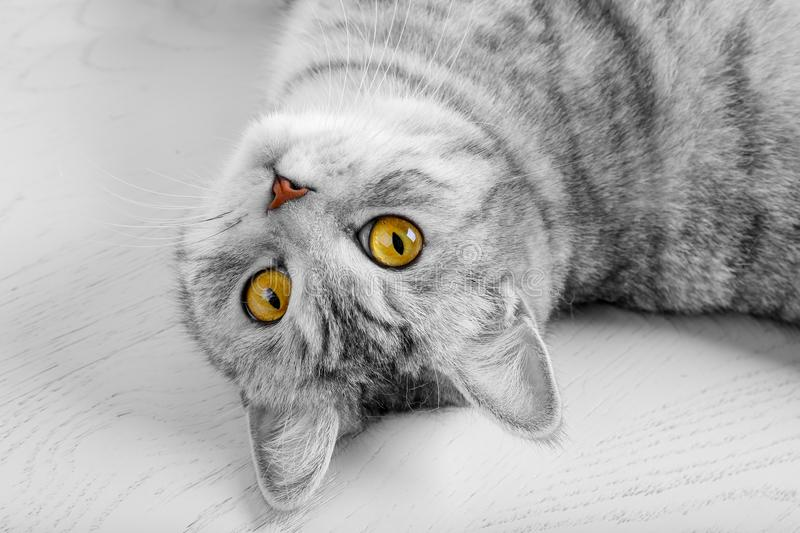Fluffy gray beautiful adult cat, breed scottish, close portrait on white background with beautiful eyes. Portrait of scottish grey stock photography