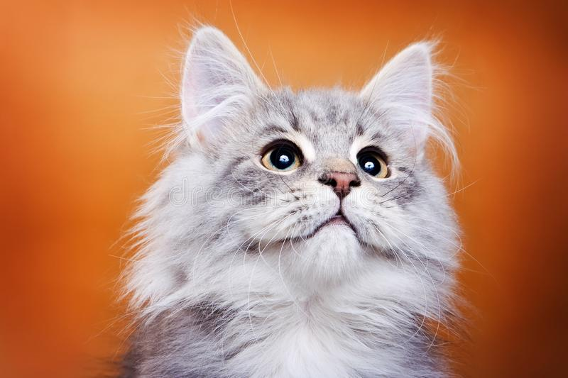 Fluffy gray cat royalty free stock photography