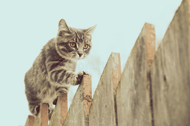 Fluffy gray cat walking on a old wooden fence. stock photo