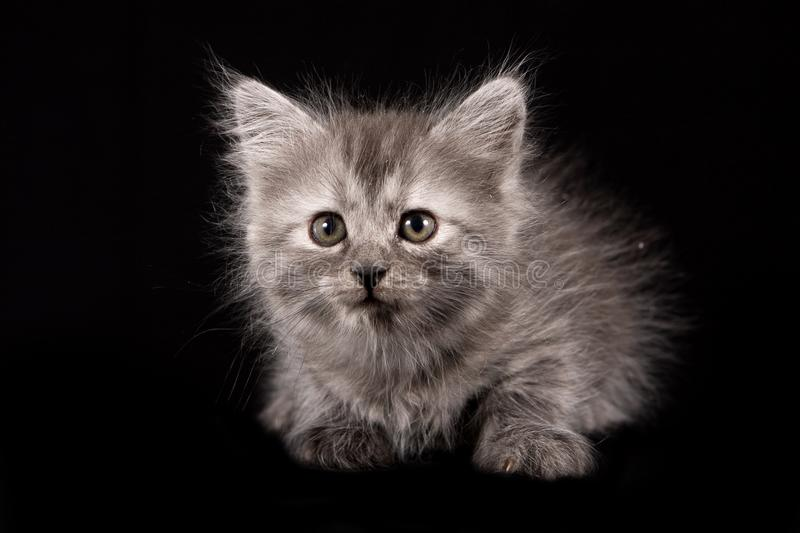 Fluffy gray kitten royalty free stock images