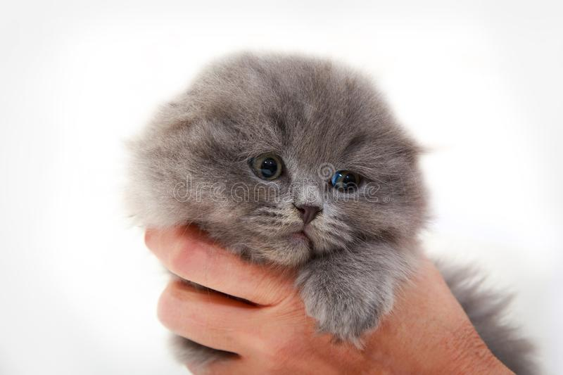 Fluffy gray kitten in the hands of man. Closeup portrait of a cat. The concept of pets and cats. Romantic kitten stock photos