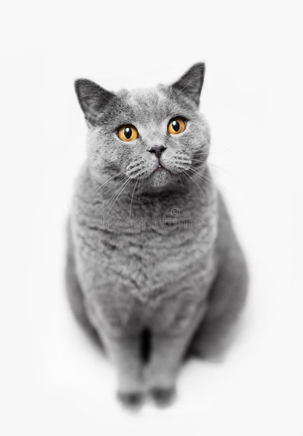 Fluffy grey cat sitting on white background royalty free stock photo