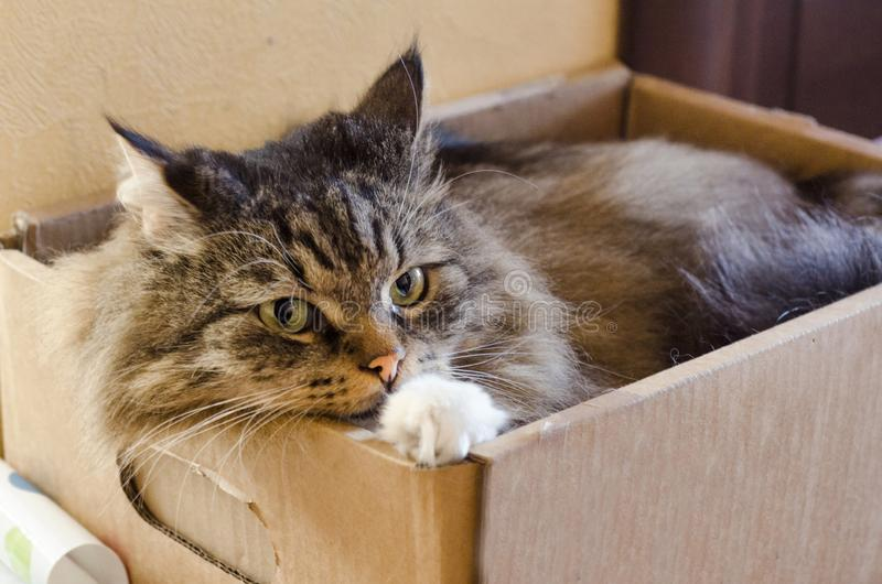 Fluffy grey domestic cat with green eyes lies in a box. a shelter for the homeless. Veterinary clinic for pets. angry, scared. Wary and aggressive look of a stock image