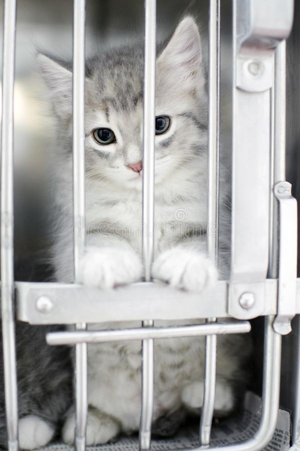 Fluffy grey kitten in animal shelter pound cage royalty free stock photos