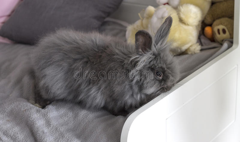 The fluffy grey rabbit. Fluffy grey rabbit on a white bed with toys stock photo