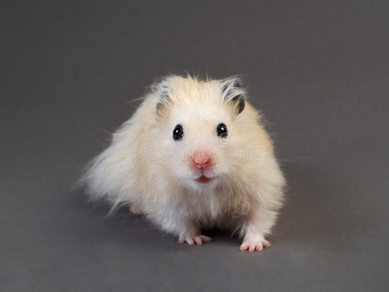 Fluffy hamster royalty free stock photo