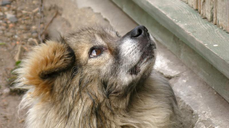 Fluffy, homeless, mongrel, dvorgyaga dog sits and looks up to the side stock photos