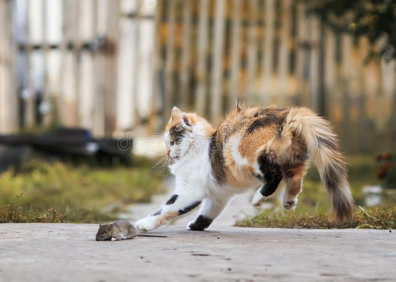 Fluffy homemade red cat plays with a caught mouse grey Bouncing royalty free stock photography