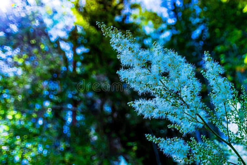 Fluffy inflorescence of alpine aster em fundo turvo imagens de stock royalty free