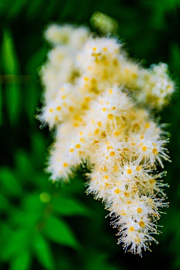 Fluffy inflorescence of alpine aster em fundo turvo imagem de stock