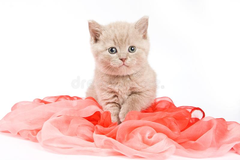 Fluffy kitten British cat stock photography