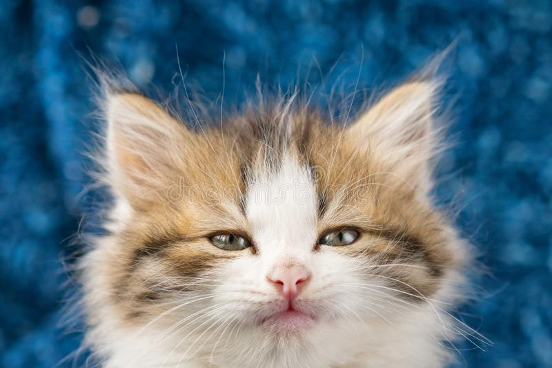 Fluffy kitten cute portrait on blue background royalty free stock photos