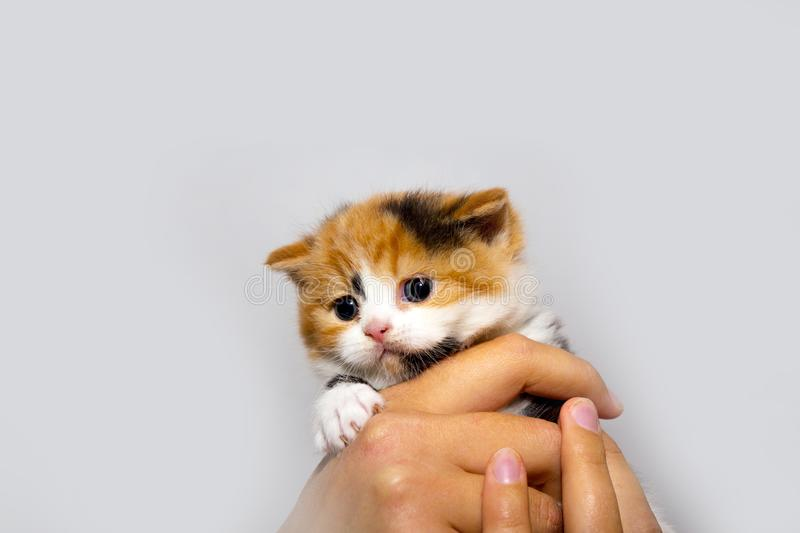 Fluffy kitten in the hands of man. Closeup portrait of a cat. The concept of pets and cats. Romantic kitten royalty free stock photo