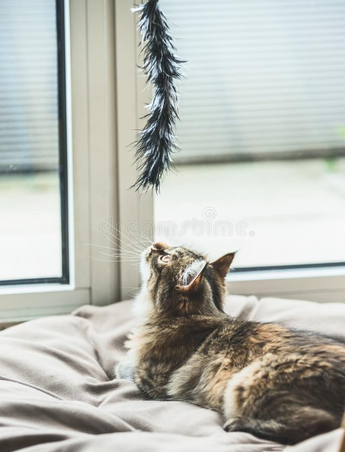 Fluffy kitten hunts cat toy at the window stock images